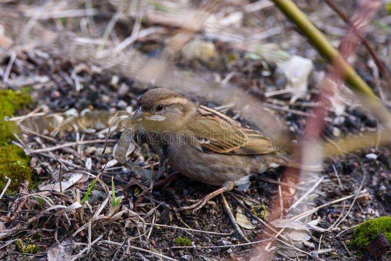De vogelpasser van de huismus vrouwelijke domesticus met plastiek lente bij haar bek stock foto
