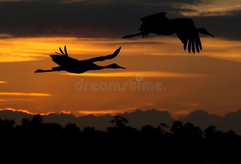 De vogels die van de kraan bij zonsondergang vliegen