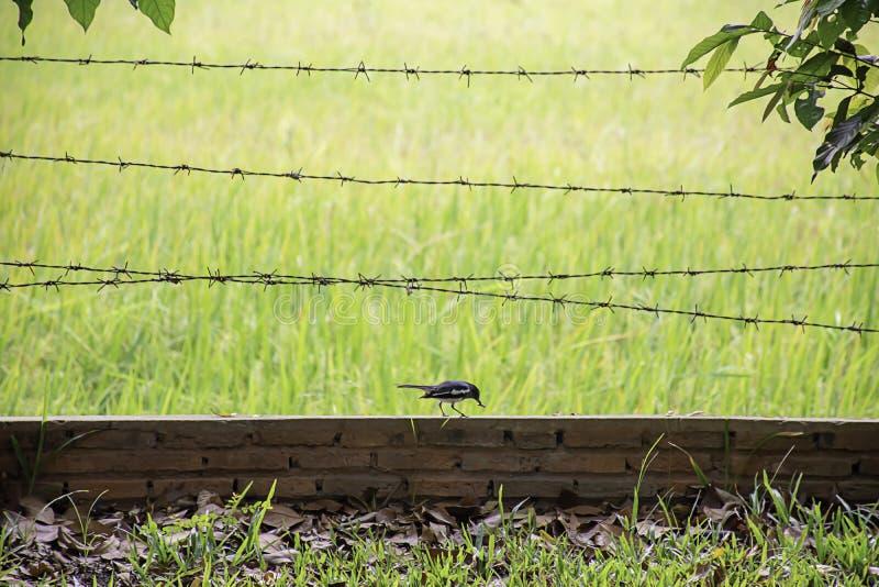 De vogels eten wormen op de bakstenen muur met prikkeldraad Achtergrond onscherp padieveldgebied royalty-vrije stock afbeelding