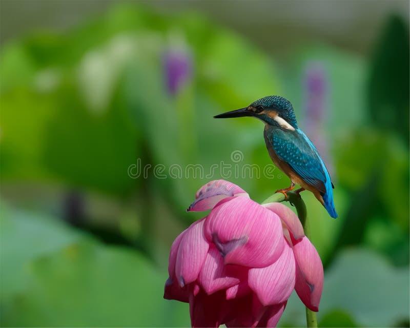 De vogels, ijsvogels, bloemen, lotusbloembloemen, rode bloemen, vogels jagen stock afbeelding
