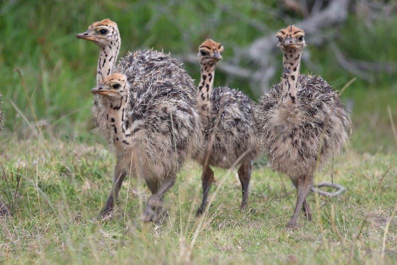 De Vogels van babyostriche stock fotografie