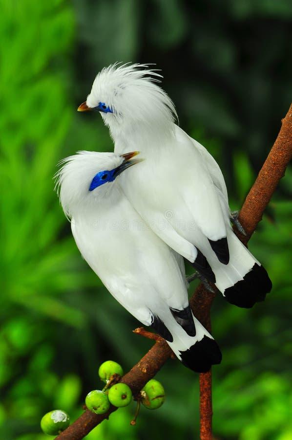 De vogels van Bali mynah royalty-vrije stock foto