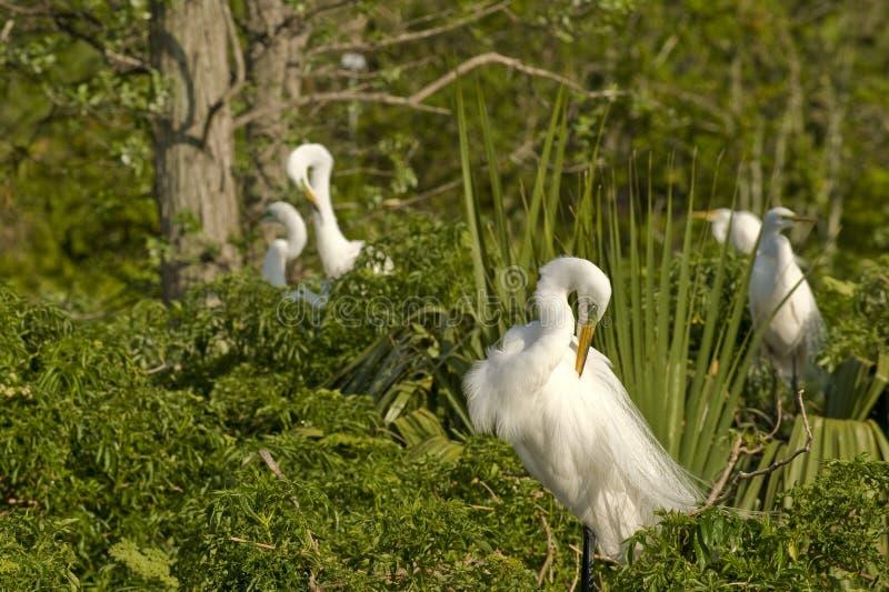 De vogels van de Aigrette van het vee stock fotografie