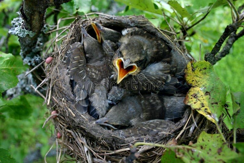 De vogels van de baby in hun nest stock foto's