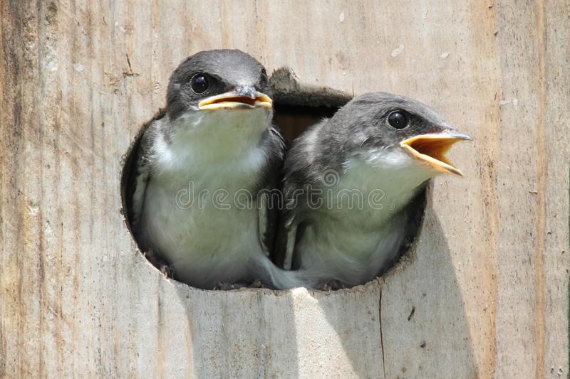 De Vogels van de baby op een Algemene Vergadering van de Vogel royalty-vrije stock afbeelding
