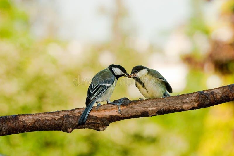 De vogels van de koolmees het voeden stock afbeelding