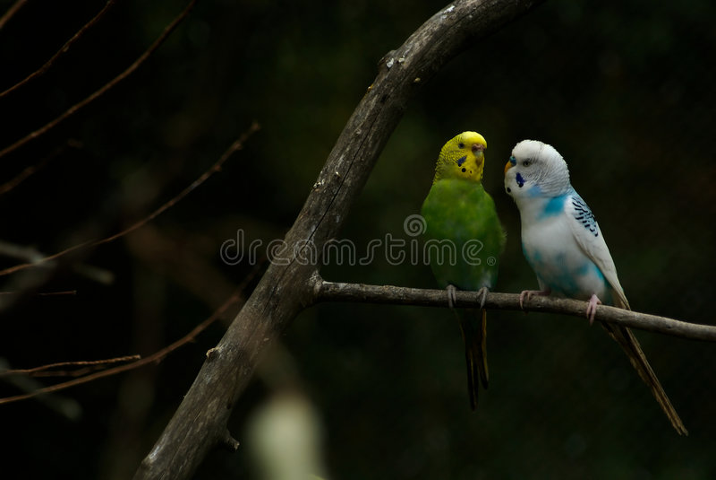 De Vogels van de parkiet in gesprek