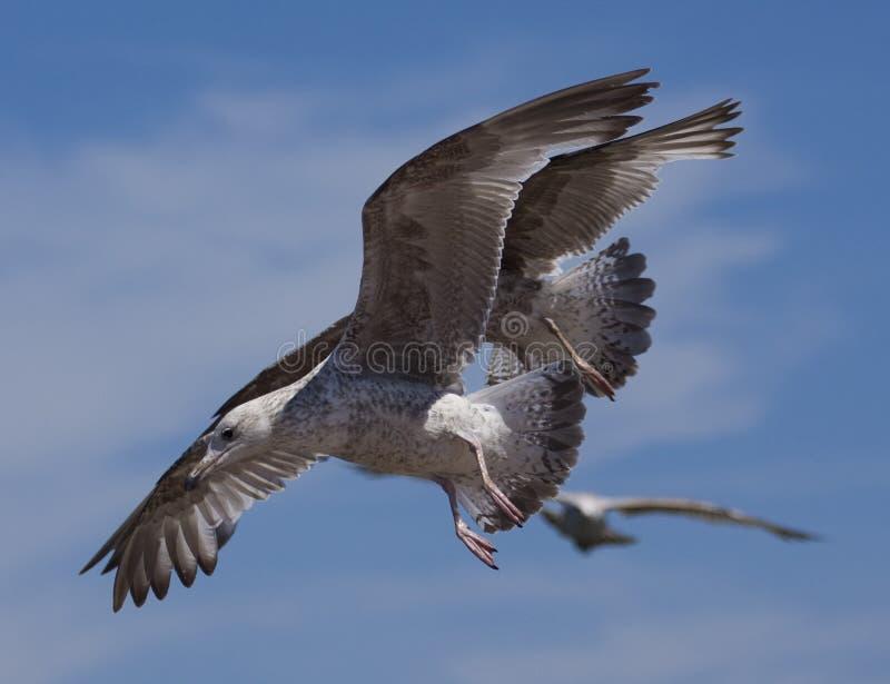 De vogels van de zeemeeuw tijdens de vlucht stock afbeelding