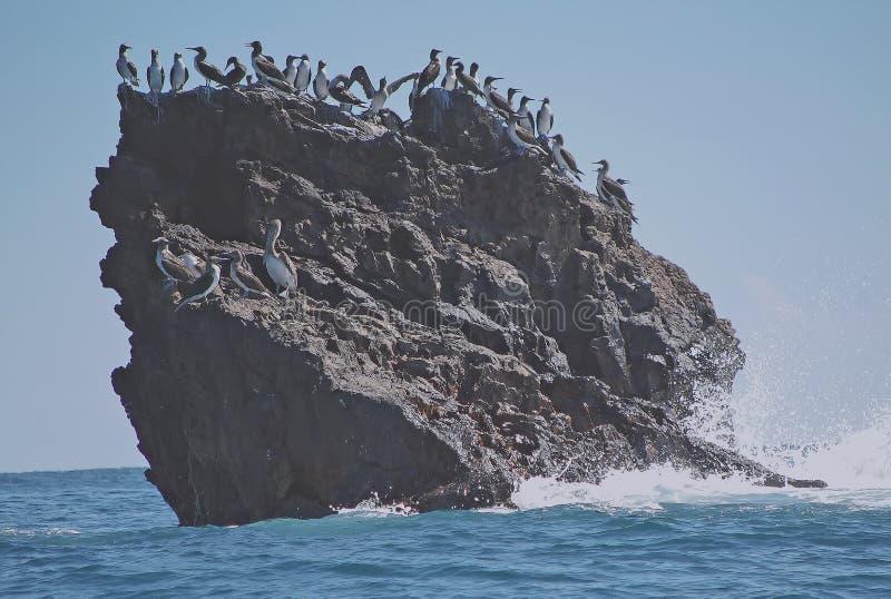 De vogels van het fregat verzamelen zich op rotsachtig heuveltje. royalty-vrije stock fotografie