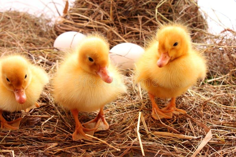 De vogels van het landbouwbedrijf stock foto