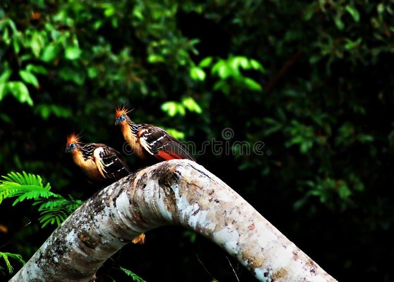 De vogels van Hoatzin in Amazonië Ju