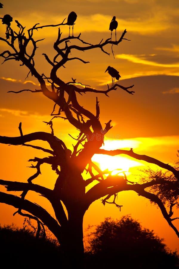 Download De Vogels Van De Maribuooievaar Op Een Boom Stock Afbeelding - Afbeelding bestaande uit kleur, ooievaar: 107705819