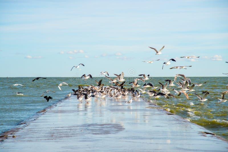 De vogels van de overvloedsmeeuw dichtbij overzees stock fotografie