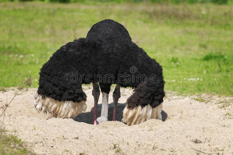 De vogelstruisvogel port zijn hoofd in het zand stock fotografie