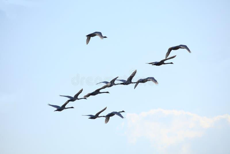 De vogelszwaan van de migratie stock foto