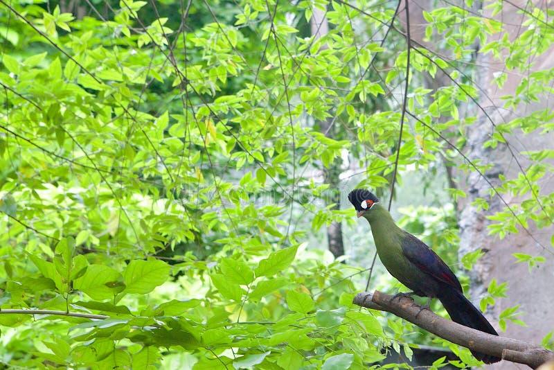 De vogelzitting van Turaco van Hartlaub op een brunch royalty-vrije stock foto's