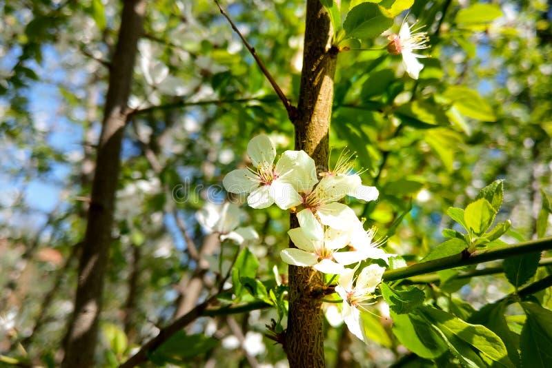 De volledige bloei van de bloem is wit in de lentetijd van de blauwe hemel De achtergrond van de aard royalty-vrije stock afbeeldingen