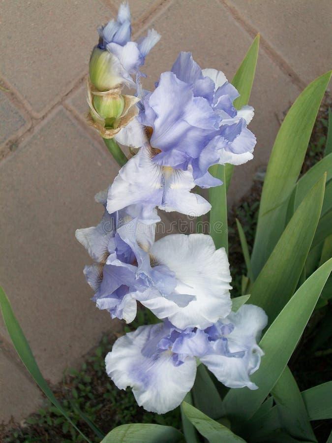 De volledige Bloei van Iris In stock afbeeldingen