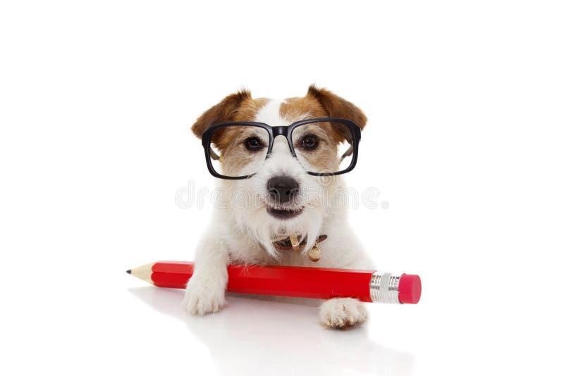 De volta ao conceito da escola Cão engraçado com vidros vermelhos gigantes de um ANG do lápis Isolado no fundo branco imagens de stock royalty free