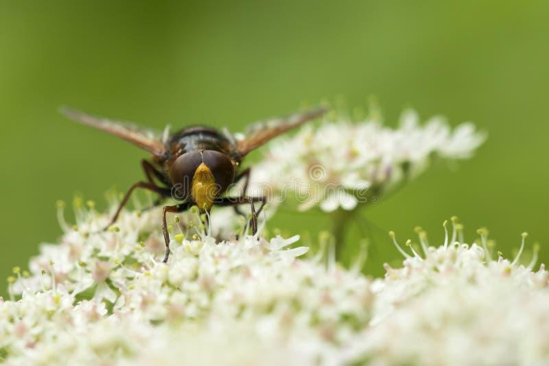 De Volucella de zonaria de frelon d'imitateur insecte hoverfly photo stock
