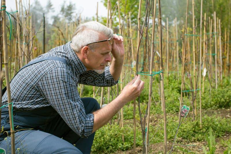 De volwassen agronoom onderzoekt zaailingen genetisch wijzigt installaties In de glazen, een baard, die overall dragen royalty-vrije stock foto