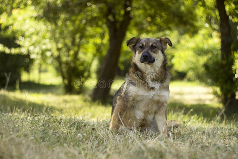 De volwassen bruine verdwaalde hond zit op een achtergrond van de groene zomer Rust, achtergrond royalty-vrije stock fotografie
