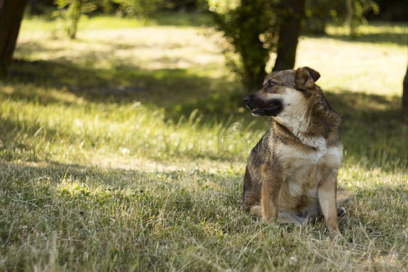 De volwassen bruine verdwaalde hond zit op een achtergrond van de groene zomer Rust, achtergrond stock foto's