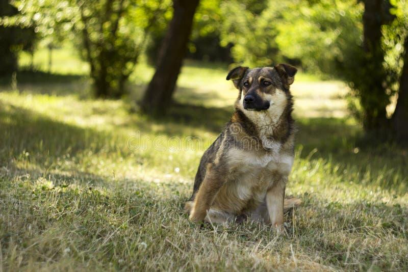 De volwassen bruine verdwaalde hond zit op een achtergrond van de groene zomer Rust, achtergrond stock afbeelding