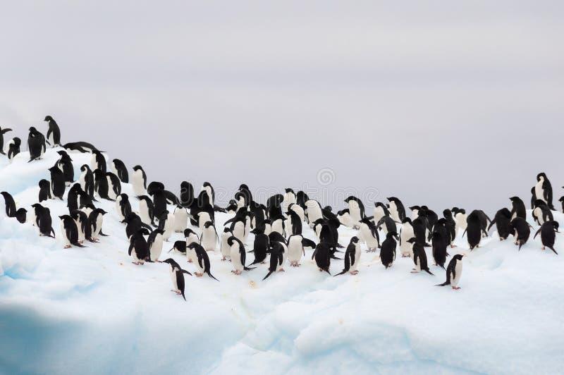 De volwassen die pinguïnen van Adele op ijsberg worden gegroepeerd stock foto's