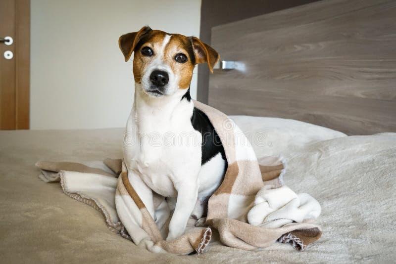De volwassen die zitting van hondjack russell in de slaapkamer in een deken wordt verpakt royalty-vrije stock afbeelding