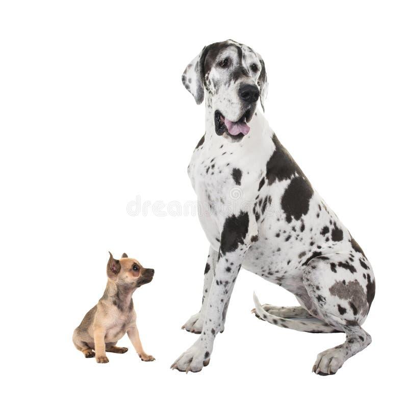 De volwassen hond van great dane en chihuahuapuppy stock foto's