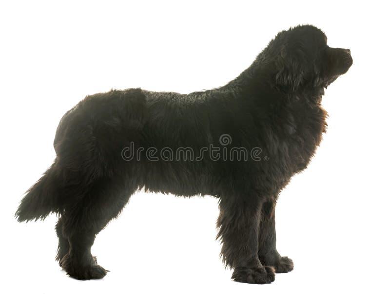 De volwassen hond van Newfoundland royalty-vrije stock afbeeldingen