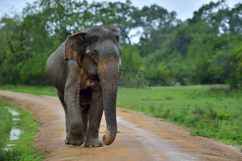De volwassen lankan olifant van Sri op de weg Het Nationale Park van Yala Sri Lanka stock foto