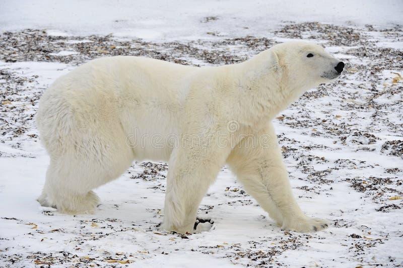 De volwassen mannelijke ijsbeer die (Ursus-maritimus) op sneeuw lopen stock foto