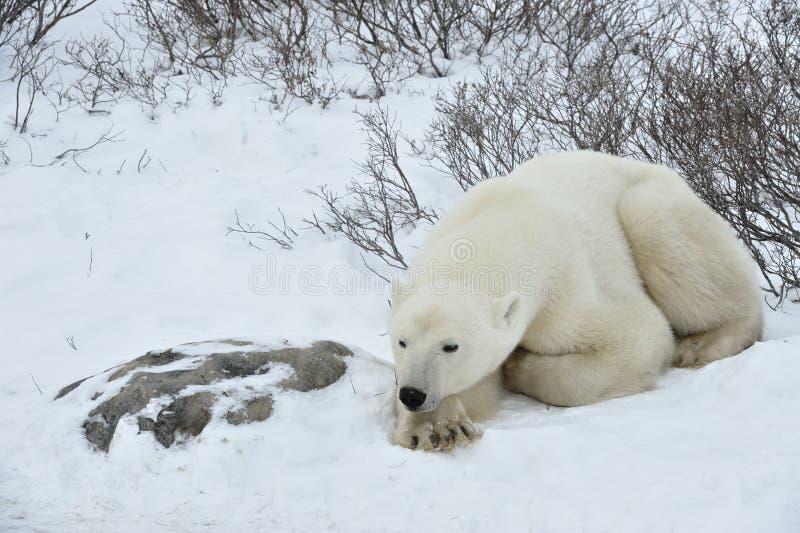 De volwassen mannelijke ijsbeer (Ursus-maritimus) heeft een rust, die op sneeuw liggen stock foto's