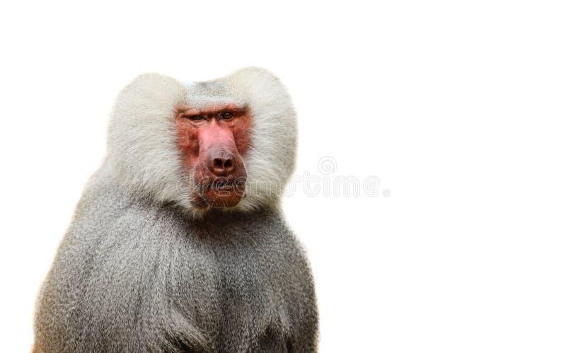 De volwassen oude bavianenaap Pavian, Papio-hamadryas sluit gezichtsuitdrukking waarnemend het staren het waakzame bekijken geïso stock foto's