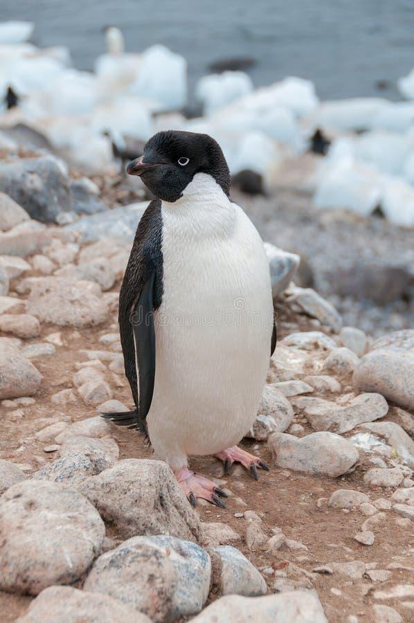 De volwassen pinguïn die van Adele zich op strand bevinden royalty-vrije stock foto's