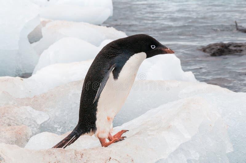 De volwassen pinguïn die van Adele zich op strand bevinden royalty-vrije stock afbeeldingen