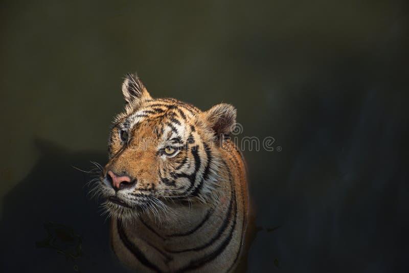 De volwassen tijger die van Bengalen iemand bekijken royalty-vrije stock fotografie