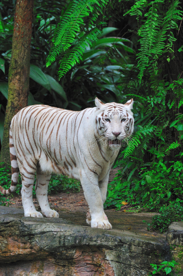 De volwassen Tijger van Bengalen stock fotografie