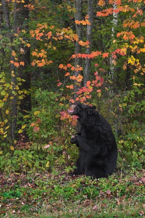 De volwassen Vrouwelijke Zwarte draagt (americanus Ursus) Grepen bij Tak royalty-vrije stock afbeeldingen