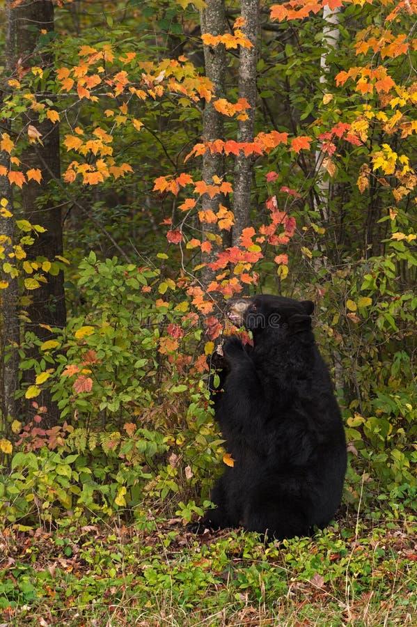 De volwassen Vrouwelijke Zwarte draagt (americanus Ursus) kauwt op Tak royalty-vrije stock foto's