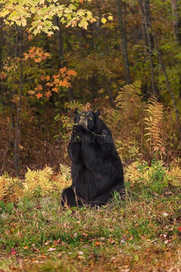 De volwassen Vrouwelijke Zwarte draagt (americanus Ursus) Takmondvol stock afbeelding