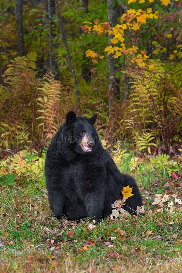 De volwassen Vrouwelijke Zwarte draagt (americanus Ursus) zit net het Kijken royalty-vrije stock foto
