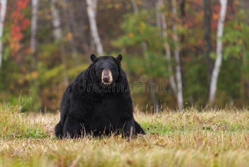 De volwassen Vrouwelijke Zwarte draagt (americanus Ursus) zit op Gebied stock foto's
