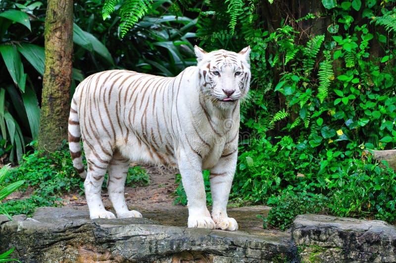 De volwassen Witte Tijger van Bengalen stock foto