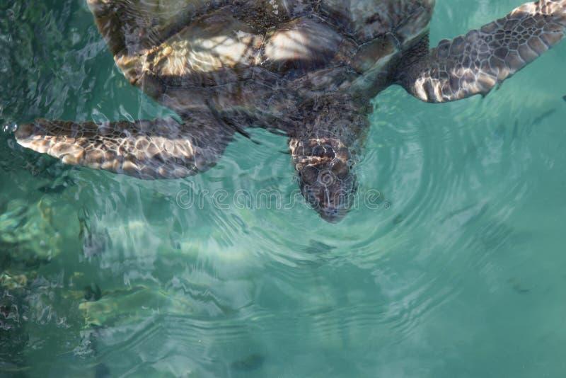 De voorhelft van een dichte omhoog grijze zeeschildpad in aquawater stock afbeelding