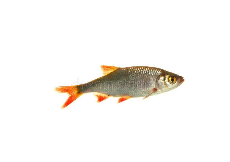 De voorn van vissen, royalty-vrije stock foto