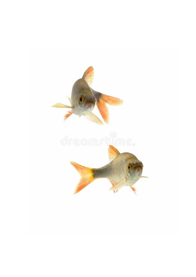 De voorn van vissen, stock afbeeldingen