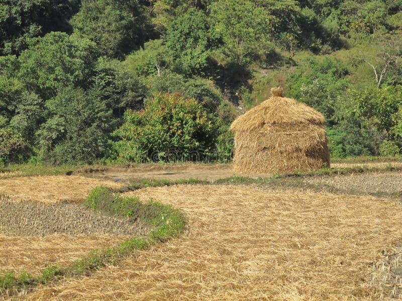 De voorraad van Hey op een padieveld, Nepal royalty-vrije stock foto's